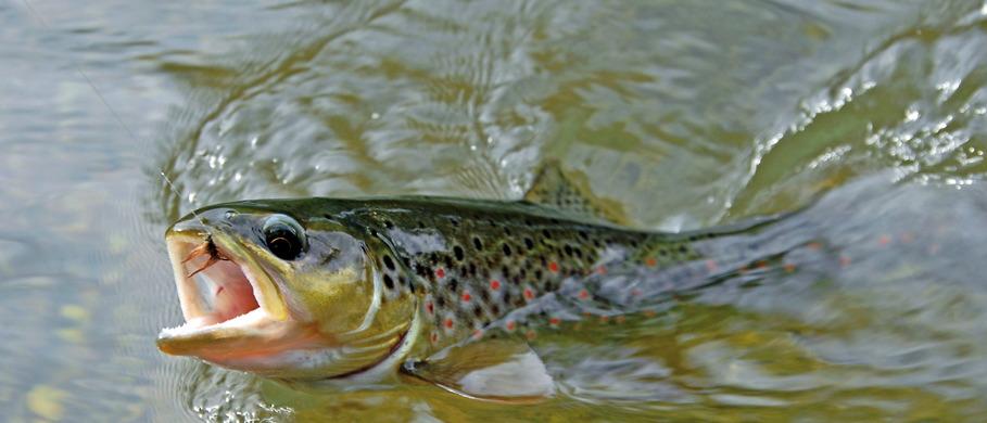 Das richtige Vorfach ist beim Fliegenfischen ein Garant für den Erfolg.