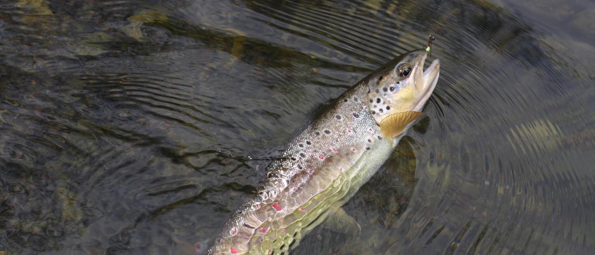 Erfolgreiches Fliegenfischen mit Nymphen
