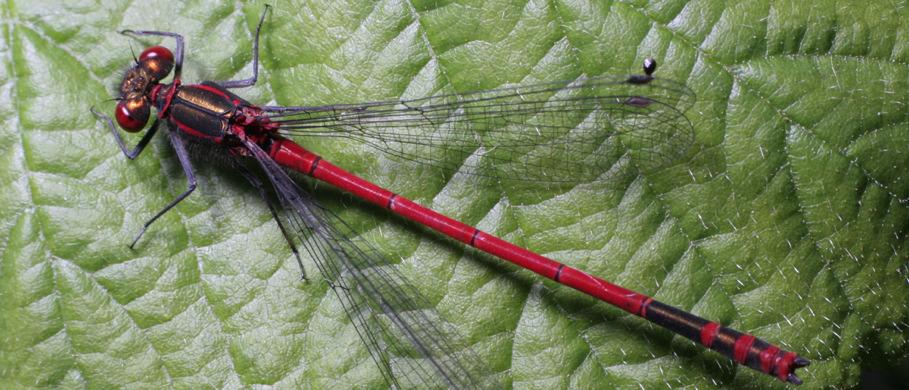 Spents & Terrestrials zum Fliegenfischen bei Flyfishing Europe