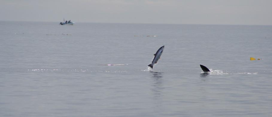 Pazifiklachs, Steelhead & King-Salmon Fliegen
