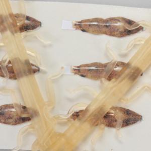 Bugs Pit Stop Mayfly Maifliegenkörper Bindematerial zum Fliegenfischen bei Flyfishing Europe