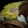 CDC Federn Großpackung Fliege Emerger